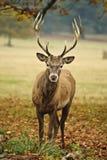 Retrato del macho adulto de los ciervos rojos en caída Fotografía de archivo