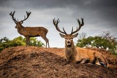 Retrato del macho majestuoso de los ciervos rojos en Autumn Fall Foto de archivo libre de regalías