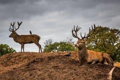 Retrato del macho majestuoso de los ciervos rojos en Autumn Fall Foto de archivo