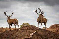 Retrato del macho majestuoso de los ciervos rojos en Autumn Fall Imágenes de archivo libres de regalías