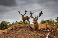 Retrato del macho majestuoso de los ciervos rojos en Autumn Fall Fotografía de archivo