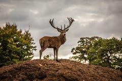Retrato del macho majestuoso de los ciervos rojos en caída del otoño fotos de archivo