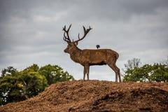 Retrato del macho majestuoso de los ciervos rojos en caída del otoño Fotos de archivo libres de regalías