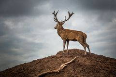 Retrato del macho majestuoso de los ciervos rojos en caída del otoño imagenes de archivo