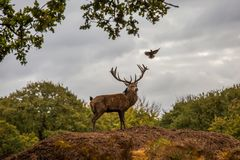 Retrato del macho y de los pájaros majestuosos de los ciervos comunes en Autumn Fall Fotografía de archivo