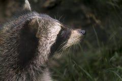 Retrato del mapache foto de archivo