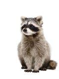 Retrato del mapache adorable Fotografía de archivo