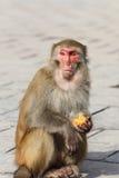 Retrato del mono Imágenes de archivo libres de regalías