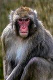 Retrato del mono 3 Fotografía de archivo