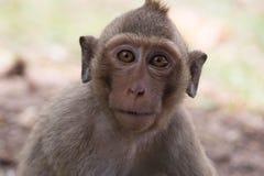 Retrato del mono Imagenes de archivo