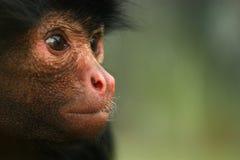 Retrato del mono de araña Foto de archivo libre de regalías