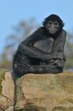 Retrato del mono de araña Imagen de archivo libre de regalías