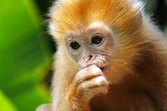 Retrato del mono de Capucine Imagen de archivo libre de regalías