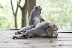 Retrato del mono de la fauna Imágenes de archivo libres de regalías