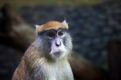 Retrato del mono de Patas Fotografía de archivo libre de regalías