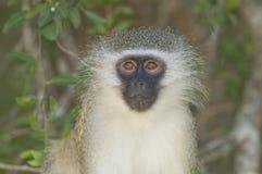 Retrato del mono de Vervet, Suráfrica Imagenes de archivo