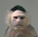 Retrato del mono del capuchón Imagen de archivo libre de regalías