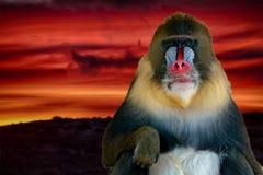 Retrato del mono del mandril en fondo rojo del cielo de la puesta del sol Fotografía de archivo libre de regalías