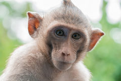 Retrato del mono marrón fotos de archivo libres de regalías