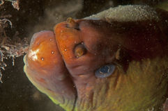 Retrato del Moray (anguila) Imagenes de archivo