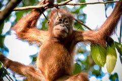 Retrato del orangután del bebé en la rama Sumatra, Indonesia fotografía de archivo