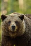 Retrato del oso de Brown Imagen de archivo