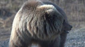 Retrato del oso marrón salvaje hambriento de Kamchatka con amenazas que mira alrededor almacen de video