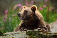 Retrato del oso marrón, sentándose en la piedra gris, flores rosadas en el fondo, animal en el hábitat de la naturaleza, Finlandi Fotografía de archivo libre de regalías