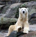 Retrato del oso polar fotos de archivo