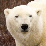Retrato del oso polar Fotografía de archivo