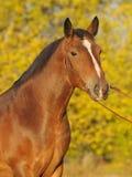 Retrato del otoño de un caballo Fotografía de archivo