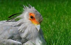Retrato del pájaro de secretaria Imágenes de archivo libres de regalías