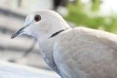 Retrato del pájaro del dekaocto del Streptopelia de la tórtola foto de archivo libre de regalías