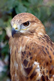 Retrato del pájaro del halcón Imagen de archivo
