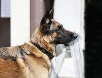 Retrato del pastor alemán al aire libre Imágenes de archivo libres de regalías
