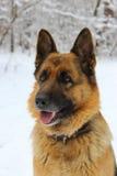 Retrato del pastor de Europa del Este en la madera de la nieve Fotos de archivo