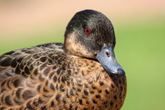 Retrato del pato Foto de archivo libre de regalías