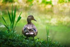 Retrato del pato del pato silvestre en naturaleza Fotografía de archivo libre de regalías