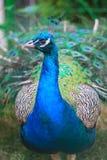 Retrato del pavo real Fotos de archivo libres de regalías