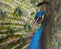 Retrato del pavo real Fotografía de archivo libre de regalías
