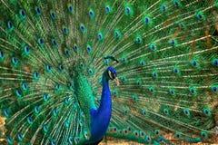 Retrato del pavo real Foto de archivo libre de regalías