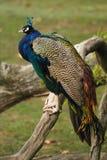 Retrato del pavo real Fotos de archivo