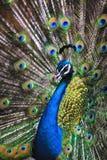 Retrato del pavo real Imagenes de archivo