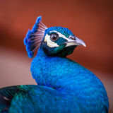 Retrato del pavo real Imágenes de archivo libres de regalías