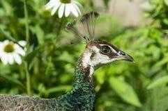 Retrato del pavo real Fotografía de archivo