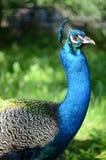Retrato del pavo real hermoso Imagen de archivo libre de regalías