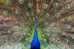 Retrato del pavo real hermoso Fotografía de archivo
