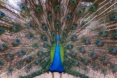 Retrato del pavo real hermoso con las plumas hacia fuera Foto de archivo libre de regalías