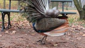 Retrato del pavo real hermoso con las plumas hacia fuera Ciérrese para arriba del pavo real que muestra sus plumas hermosas almacen de metraje de vídeo