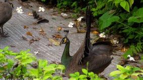 Retrato del pavo real hermoso con las plumas almacen de metraje de vídeo
